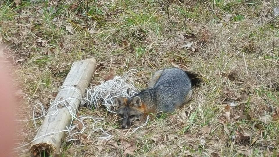 1  Bridger # 3  Coil Spring Traps Beaver Otter Coyote Bobcat Trapping